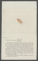 Itea rosea - - Print - Iconographia Zoologica - Special Collections University of Amsterdam - UBAINV0274 098 08 0015.tif