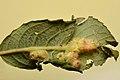 Iteomyia major on salix cfr cinerea (31108681953).jpg