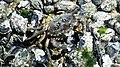 Iz - Callinectes sapidus - 1.jpg