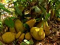 Jack fruits.JPG