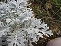 Jacobaea maritima leaf (06).jpg