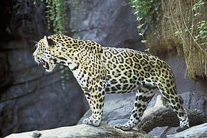 Geography of Mesoamerica - The jaguar, common throughout southeast Mesoamerica, was symbolic to many pre-Columbian groups.