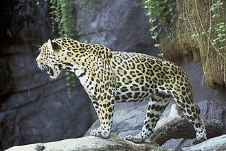 Rosette (zoology) - Rosettes of a jaguar