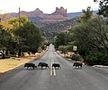 Javelinas crossing Navahopi Road in Sedona, Arizona - la la The Beattle's Abbey Road Album Cover!.jpg