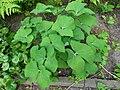 Jeffersonia diphylla 2017-05-23 1461.jpg