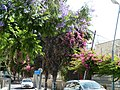 Jerusalem Rivka Stoynovski street purple and pink flowers.jpg