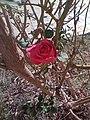 Jolie rose.jpg