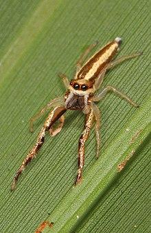 Jumping Spider - Hentzia grenada, Okaloacoochee Slough State Forest, Felda, Florida.jpg