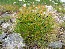 Juncus - Chi Juncus 220px Juncus trifidus a5