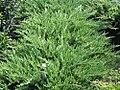 Juniperus chinensis sargentii 0zz.jpg