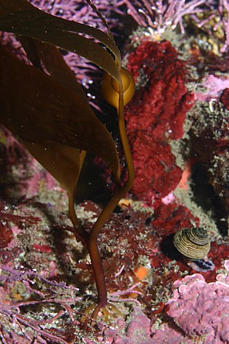 Macrocystis pyrifera - Juvenile Macrocystis pyrifera, Whaler's Cove (Point Lobos State Reserve)