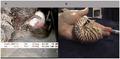 Juvenile Nautilus pompilius.png