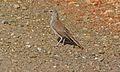 Karoo Long-billed Lark (Certhilauda subcoronata) (6437061545).jpg