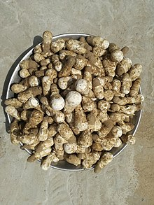 Khumbhi (local name for mushroom in Thar Desert) grow in abundance after rains