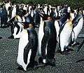 King penguins at South Georgia.jpg
