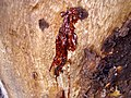 Kino oozing from a small fissure on a Eucalyptus cladocalyx.jpg