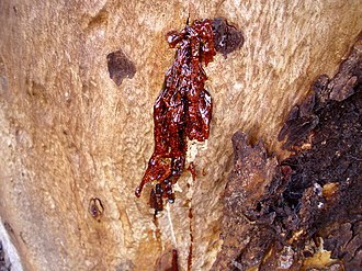 Eucalyptus cladocalyx - Kino oozing from a small fissure on a Eucalyptus cladocalyx