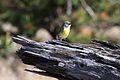 Kirtland's Warbler (Setophaga kirtlandii) male.jpg