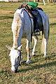 Koń mongolski w Parku Narodowym Gorchi-Tereldż 13.JPG