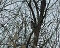 Kobac (Accipiter nisus) ; Eurasian Sparrowhawk.jpg