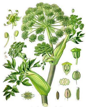 Angelica archangelica - Image: Koehler 1887 Garden Angelica