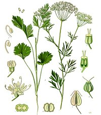 Anise, one of the three main herbs used in production of absinthe
