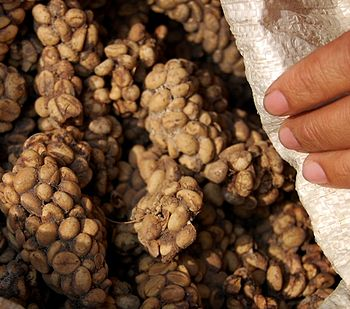 English: Kopi luwak, coffee seeds from faeces ...