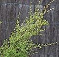 Kunzea robusta in Auckland Botanic Gardens 03.jpg