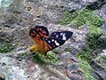 Kupu-kupu liar.jpg