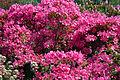 Kurume Azalea - National Rhododendron Gardens, Olinda, Victoria Australia (6226033222).jpg
