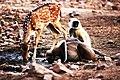 LIVING TOGETHER- The Spotted Deer & The Langurs at Ranthambore National Park, Rajasthan.jpg
