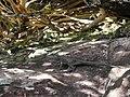 Lagarto (Tropidurus montanus) toma sol.jpg