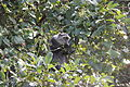 Laika ac Blue Monkey (9727675650).jpg