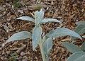 Lamb's-ears Betony Stachys byzantina Plant 2800px.jpg