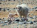 Lamb in the Altai Mountains 01.jpg