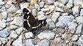 Landkärtchen Araschnia levana f. prorsa 4240.jpg