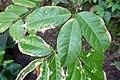 Landolphia owariensis-Jardin botanique Meise (2).jpg