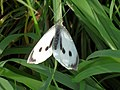 Large-White-Pieris-Brassicae-Butterfly.JPG