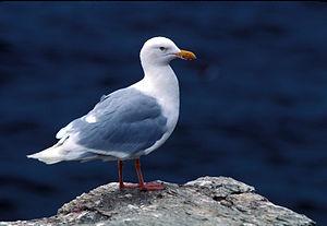 Glaucous gull - Image: Larus hyperboreus USFWS
