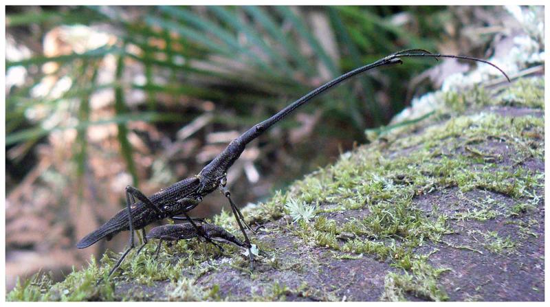 File:Lasiorhynchus barbicornis male and female.png