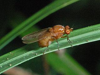 <i>Sapromyza</i> Genus of insects