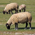 Le Mont-Saint-Michel France Salt-Meadow-Sheeps-01.jpg
