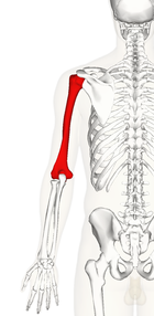 Left humerus - posterior view.png