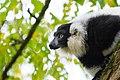 Lemur (24168831428).jpg