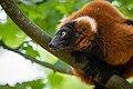 Lemur (36446097402).jpg