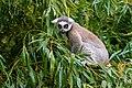 Lemur (36614914215).jpg