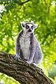 Lemur (36901223696).jpg