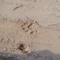 Leopard's Foot Print in Rajaji National Park.png