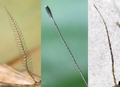 Lepidoptera antenna.png