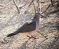 Leptotila verreauxi Tórtola colipinta White-tipped Dove (8491672345).jpg